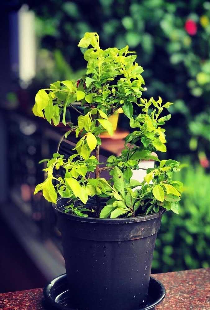 Para cultivar a planta pingo de ouro no vaso certifique-se que ela irá receber a quantidade necessária de luz solar