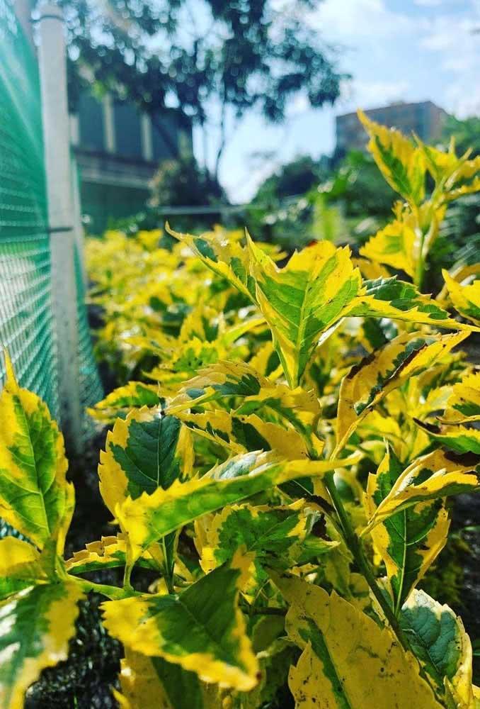 Folhas douradas e iluminadas para um jardim alegre e colorido