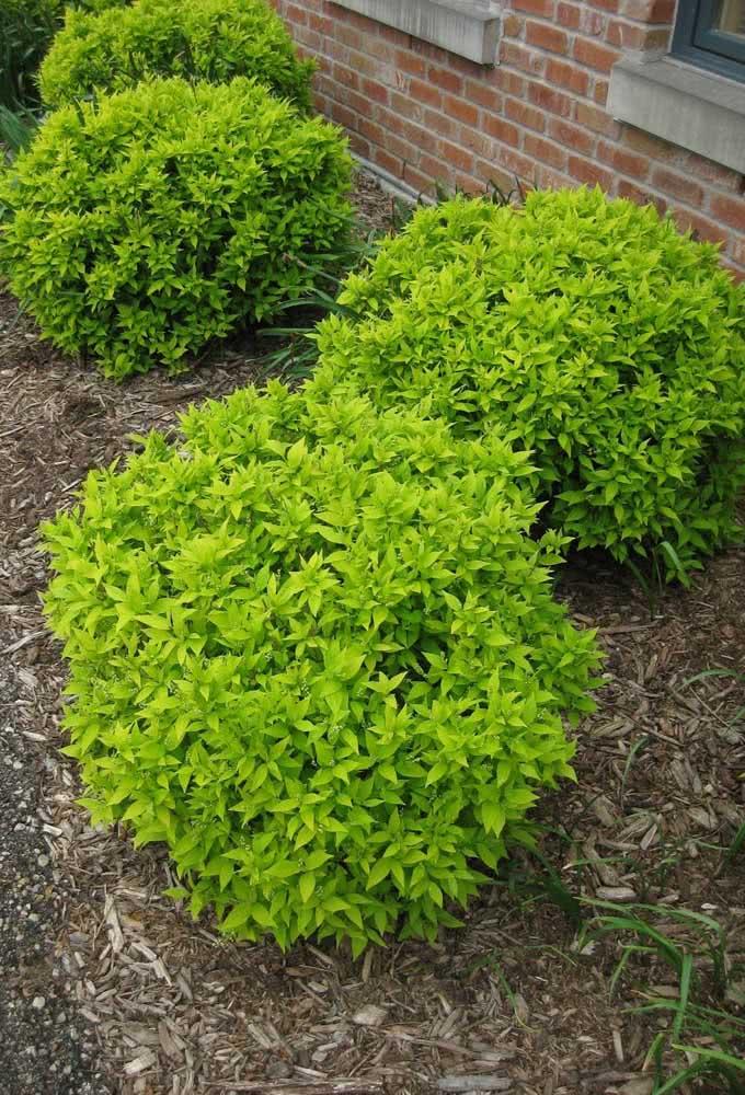 Mini arbustos de pingo de ouro para o pequeno canteiro da casa