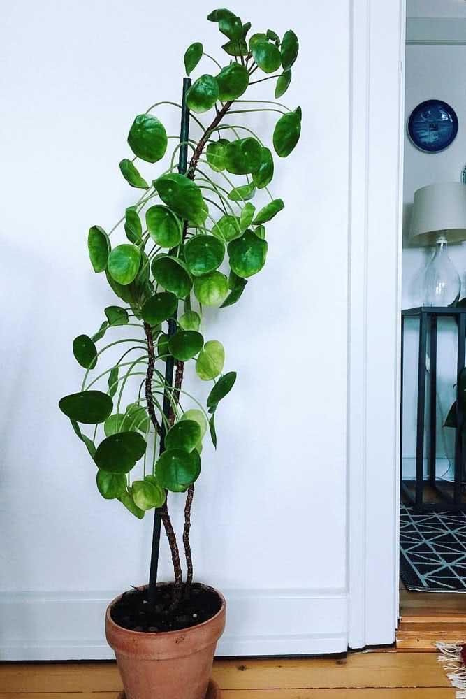 Pilea em versão mini árvore: assim como ocorre no habitat natural da planta