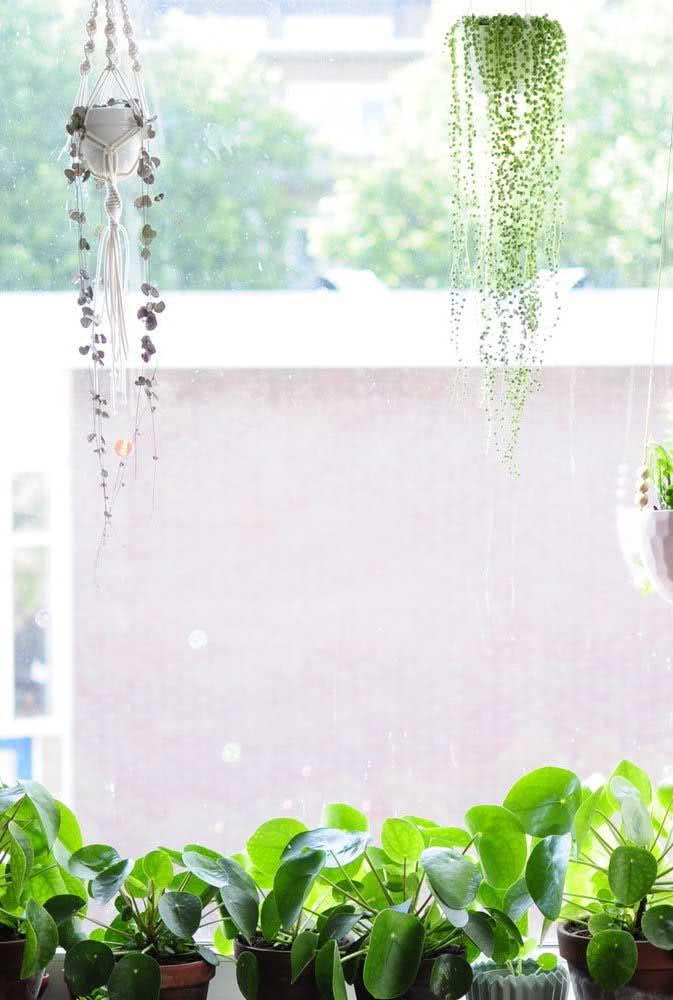 Um jardim de pileas no parapeito da janela: um dos melhores lugares para cultivar a espécie
