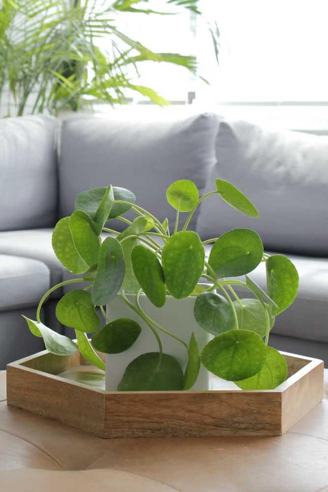 Em um vaso pequeno, a pilea pode adornar a mesa de centro da sala de estar
