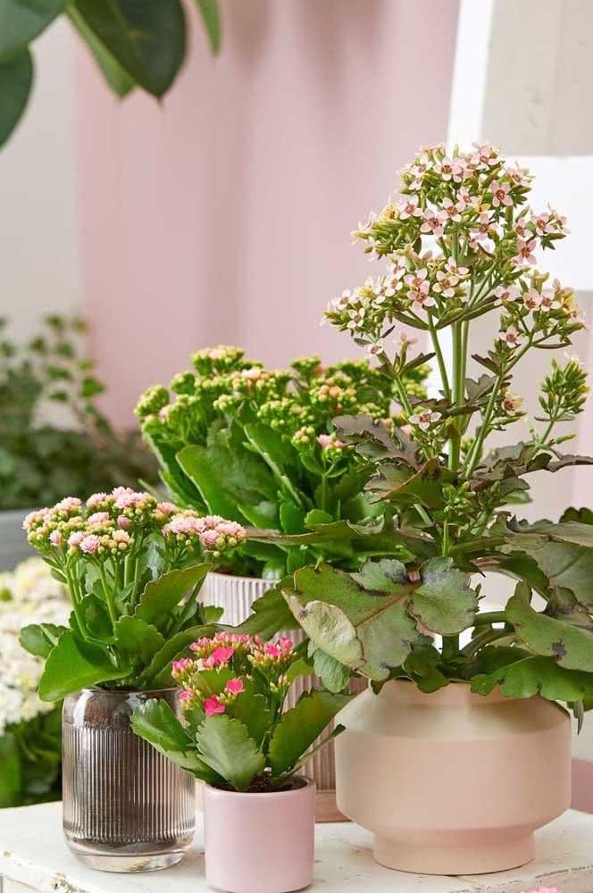 Flor da fortuna kalonche em tamanhos diferentes