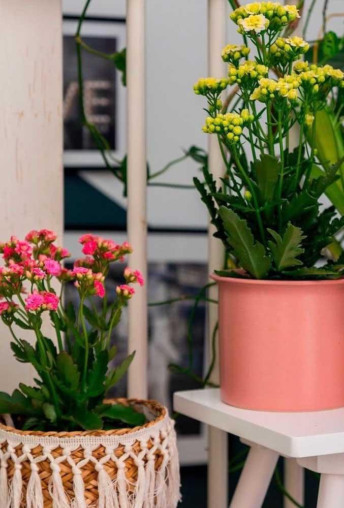 Flor da fortuna amarela e rosa: prosperidade e amor