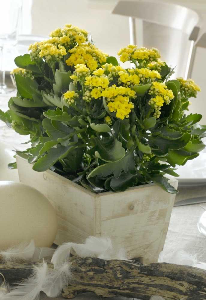 Flor da fortuna amarela: brilhante e alegre como um sol