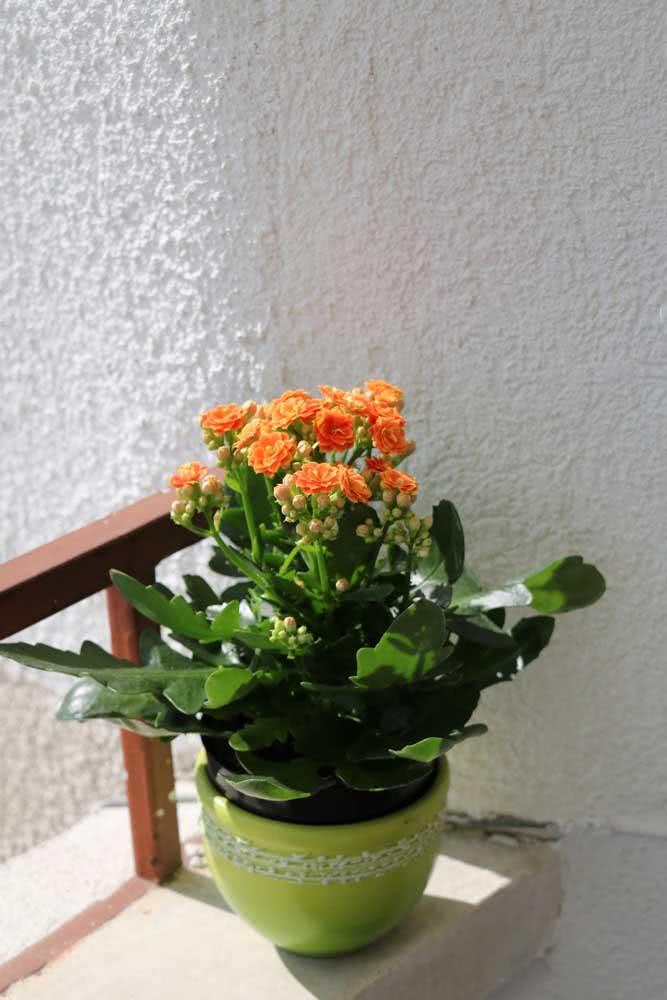 Flor da fortuna laranja tomando o sol da manhã