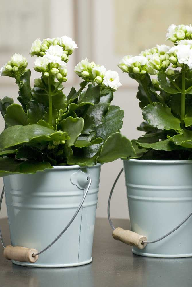 O clássico cachepot de lata para as flores da fortuna