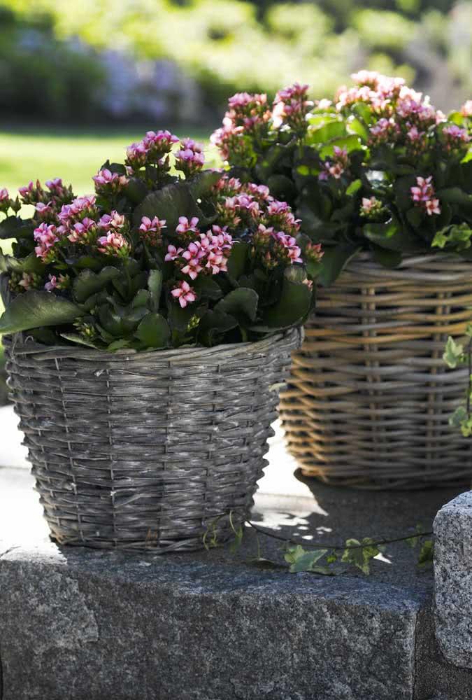 Já aqui é o cachepot de vime que abraça a flor da fortuna rosa