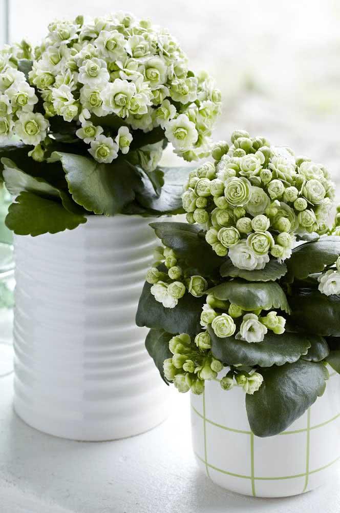 Flores que duram por até cinco semanas
