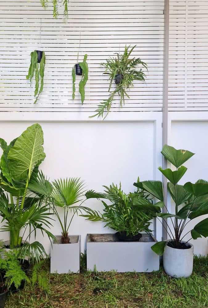 Muda de palmeira leque para um mini jardim