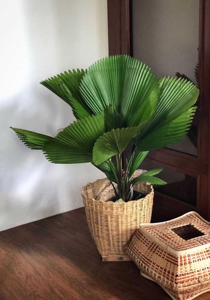 A exótica beleza das folhas da palmeira leque