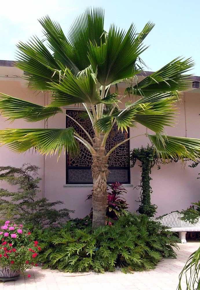 Com um pouco mais de espaço, a palmeira leque da China cresce a vontade