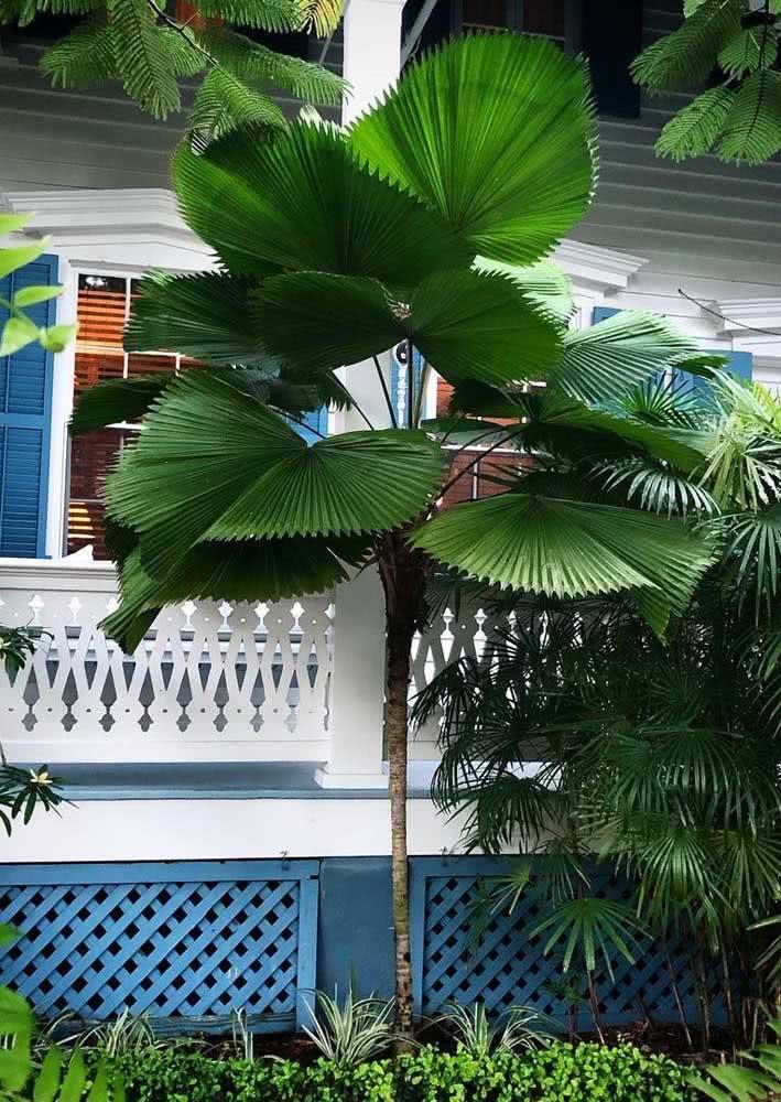 Palmeira leque grande: para qualquer tipo de paisagismo