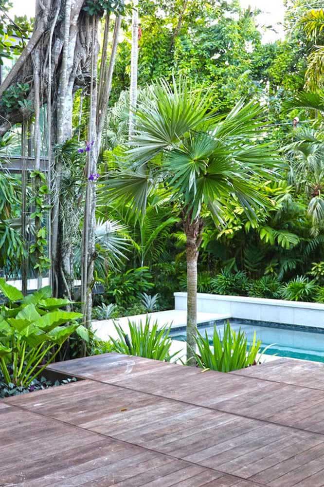 Palmeira leque na beira da piscina