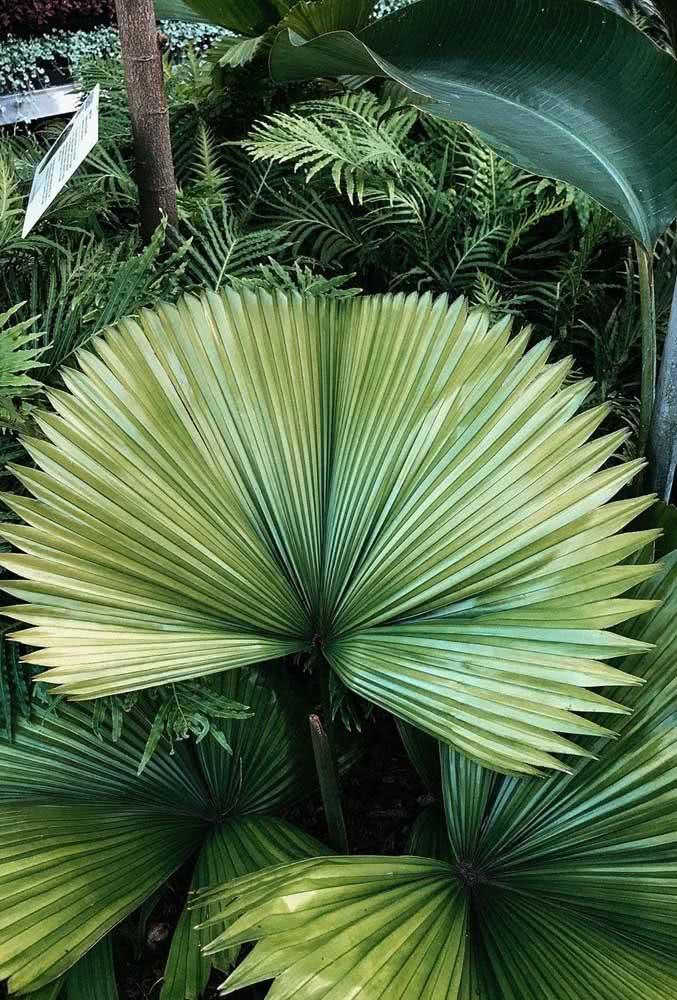 As folhas da palmeira leque são inconfundíveis