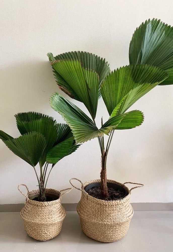 Dupla de palmeiras leque no cesto de palha