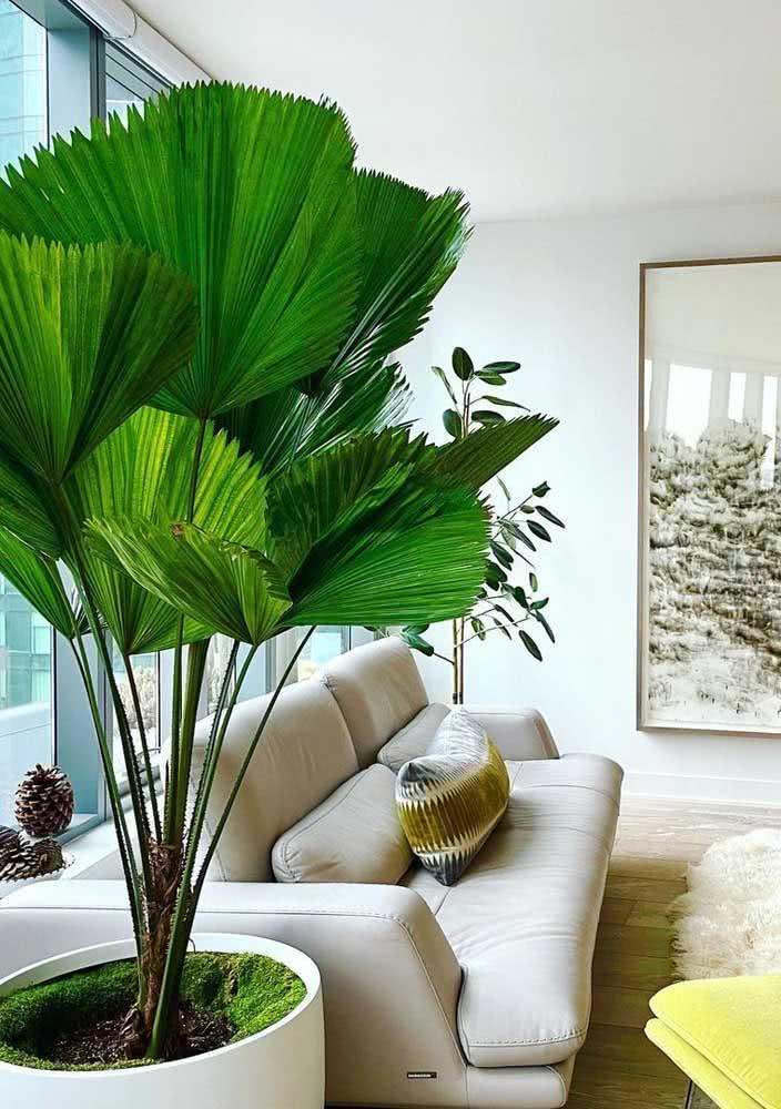 Quanto mais luz, mais a palmeira leque se desenvolver