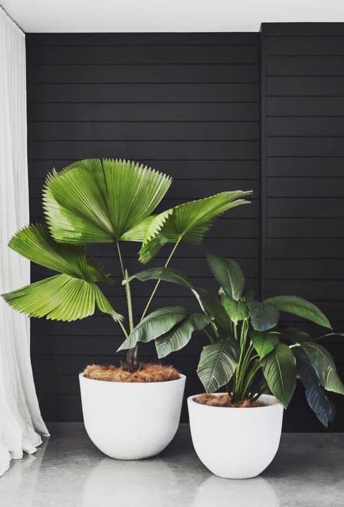 Aqui, o verde da palmeira leque forma um lindo contraste com a parede preta