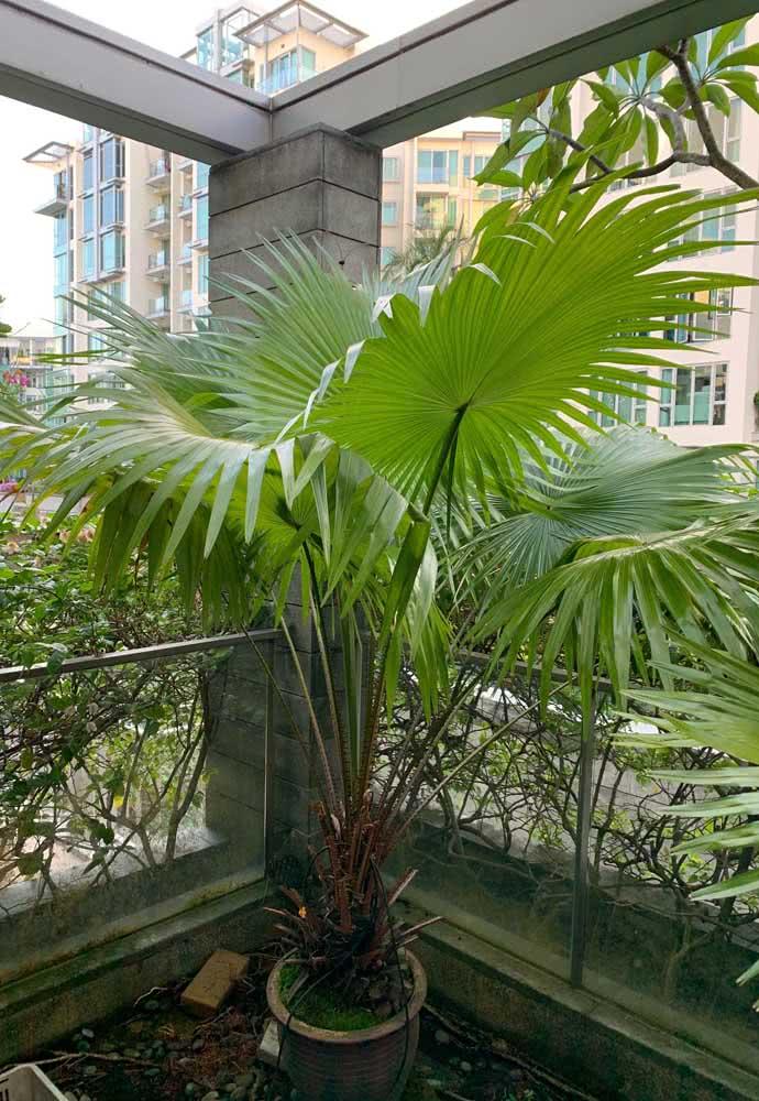 Palmeira leque da China para cultivar na varanda do apartamento