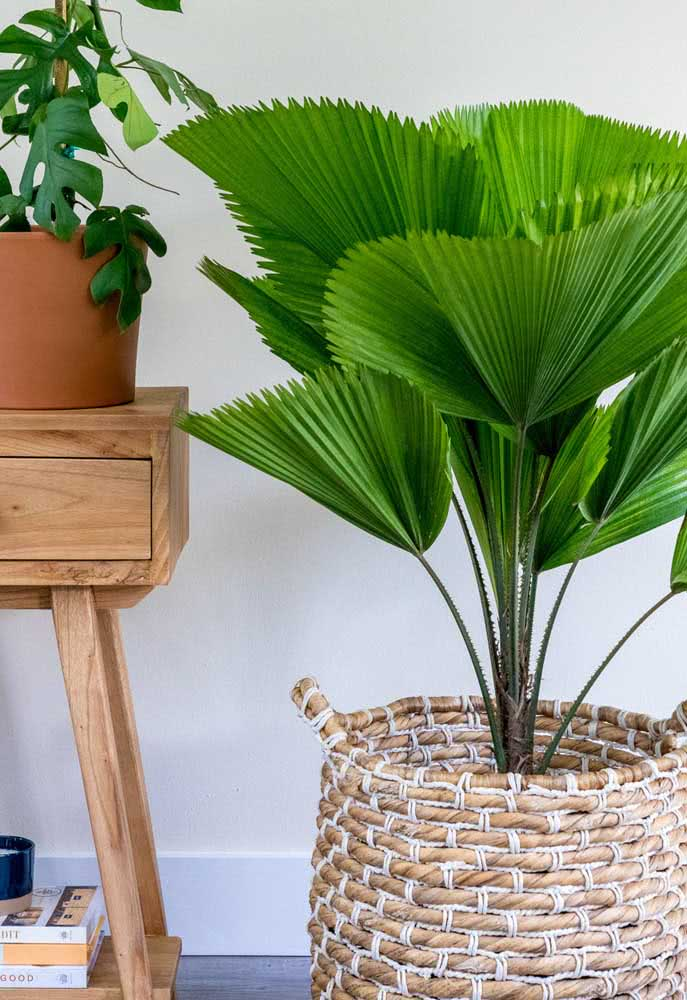 Um cachepot rústico para a palmeira leque