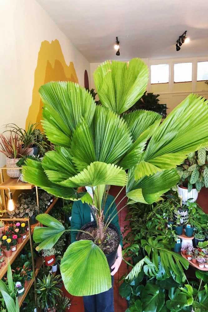 Volumosa e exótica: uma planta perfeita para selvas urbanas