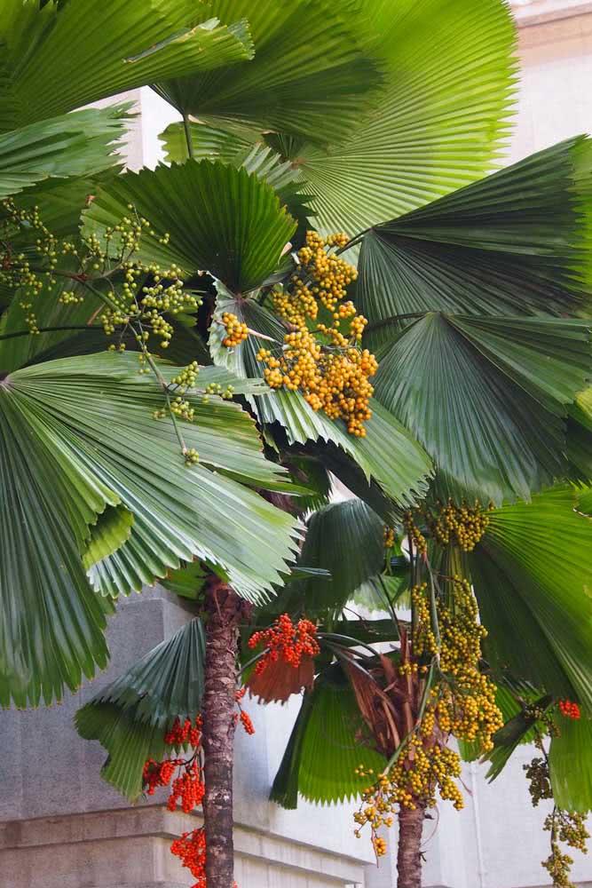 Flores e frutos de palmeira leque para você conhecer
