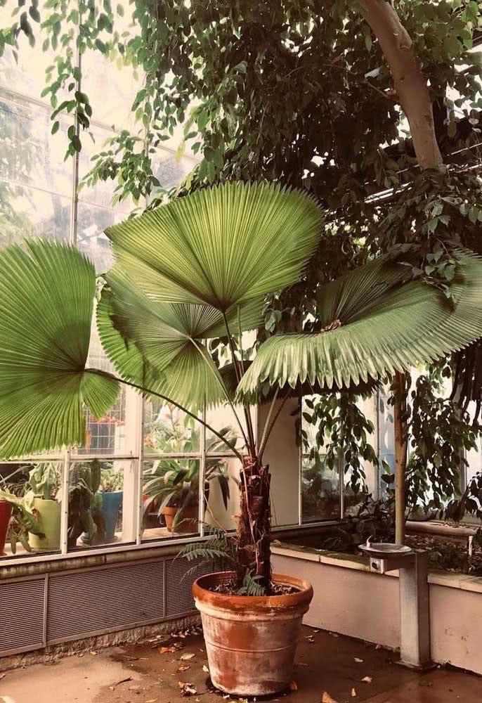 Já a palmeira leque no vaso de barro traz um toque rústico e despojado para o jardim