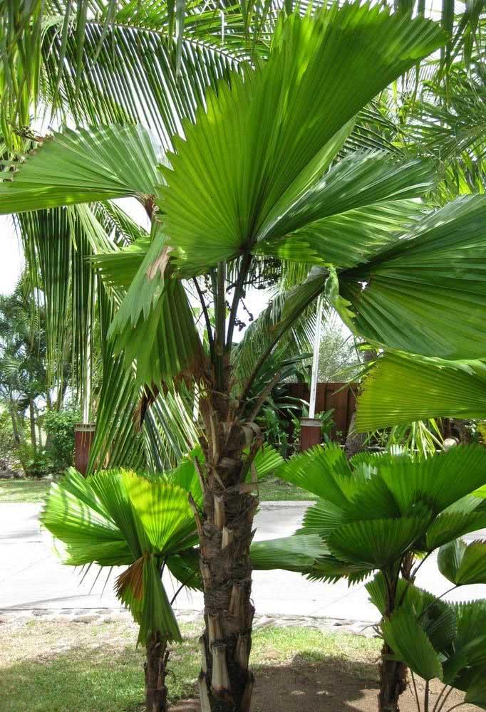 Palmeira leque Fiji na composição do paisagismo externo