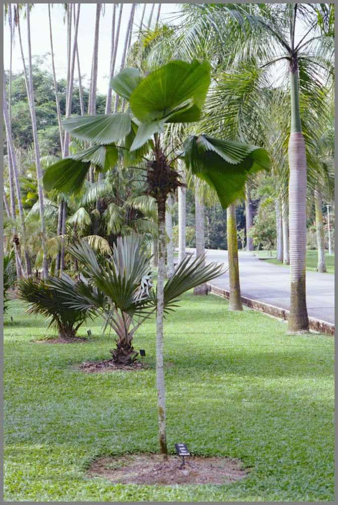 Três tipos de palmeira leque no mesmo jardim