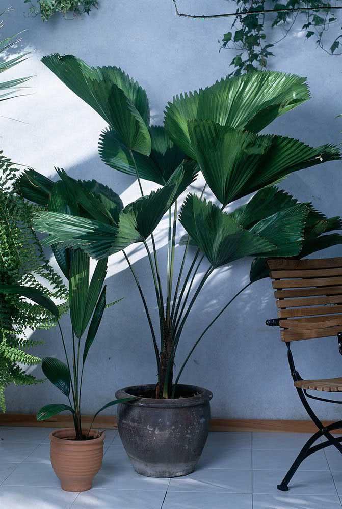 Sombra e frescor em companhia da palmeira leque