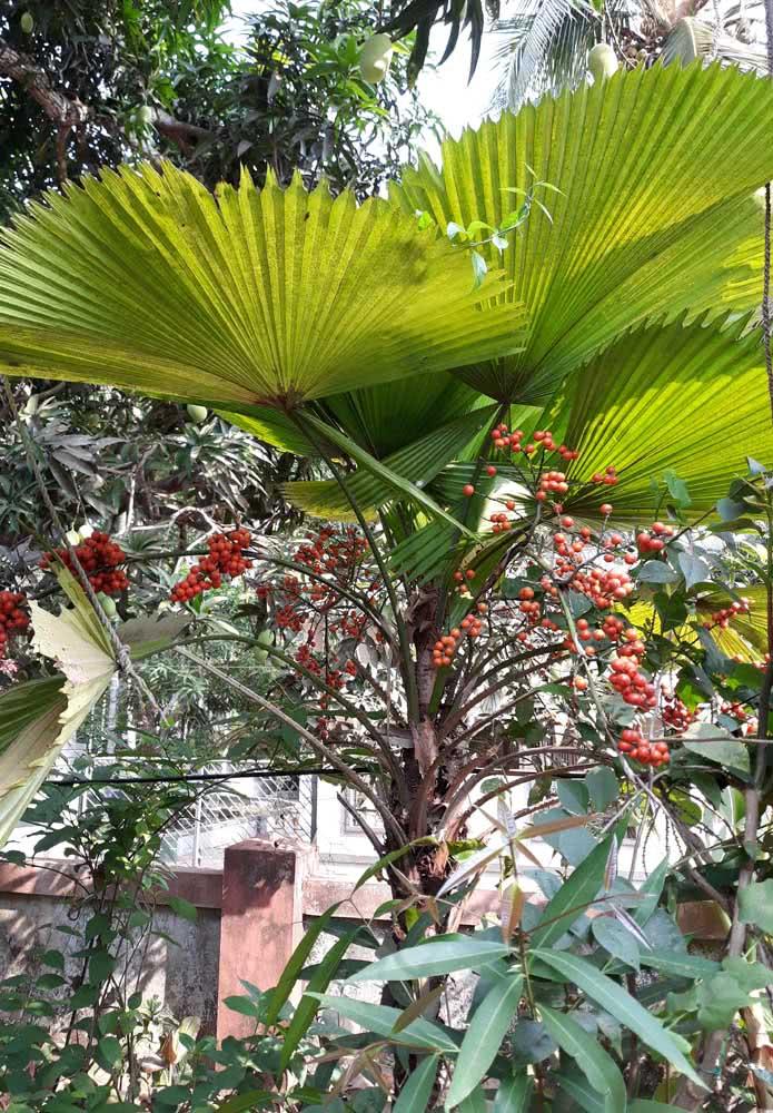 Apesar de não ter apelo ornamental, os frutos da palmeira leque são lindos