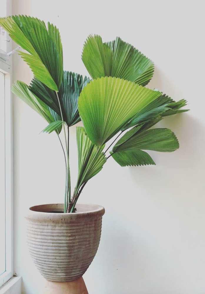 Minimalismo também combina com a palmeira leque