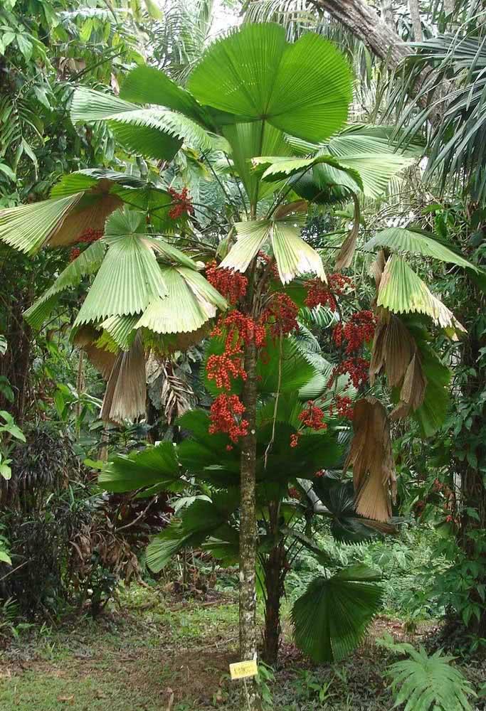 Um típico jardim tropical com a palmeira leque