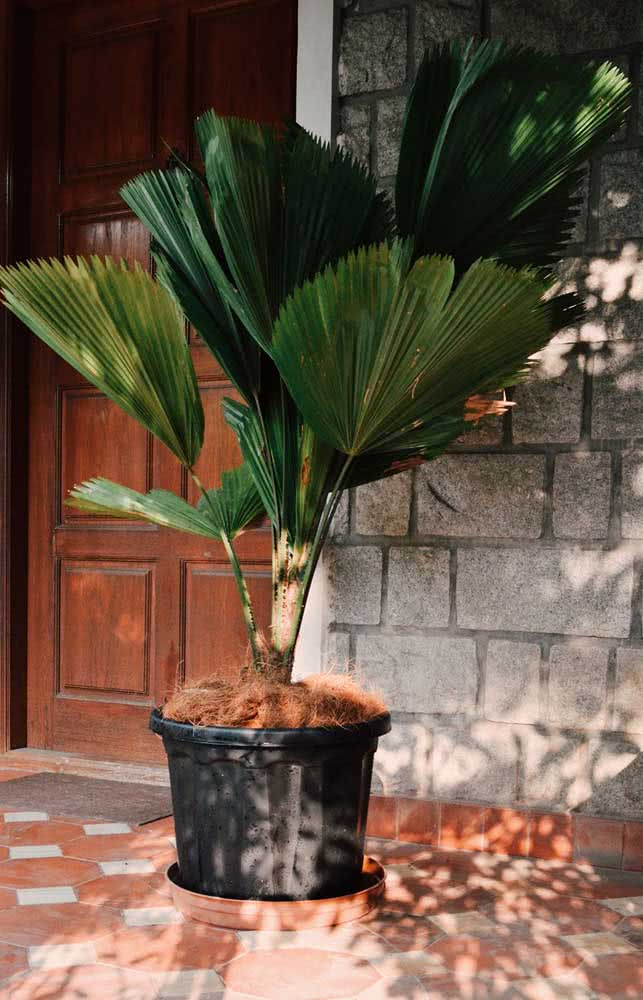 Que tal uma palmeira leque em vaso para a entrada da casa?