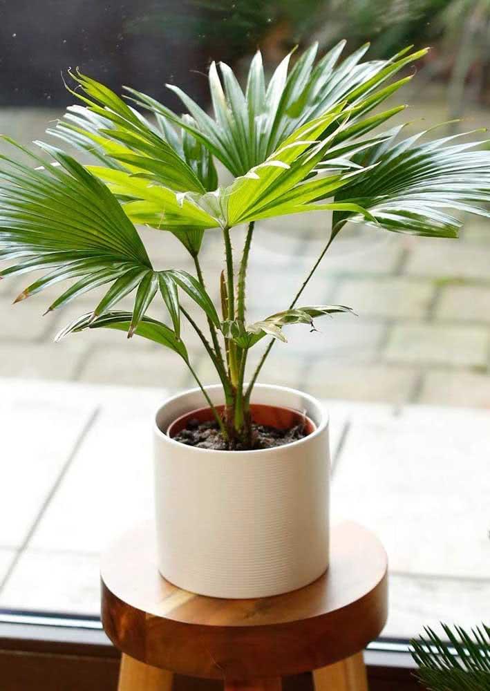 Muda de palmeira leque no vaso: mesmo pequenininha, ela tem já tem sua beleza