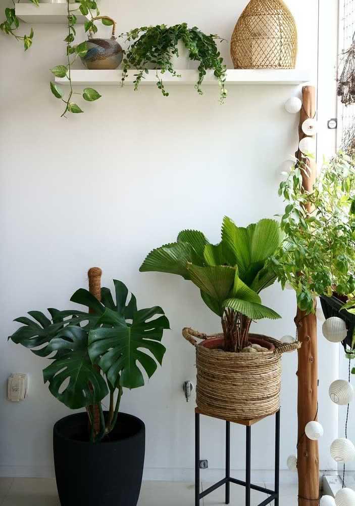 Encontre um cantinho iluminado da casa para cultivar a palmeira leque redonda